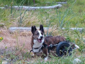 Oliver - The author's Cardigan Welsh Corgi